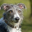 Stock Photo: Scruffy dog