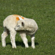 Spring welsh lamb — Stock Photo