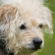 Scruffy mutt — Stock Photo