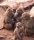Hamadryas baboons — Stock Photo