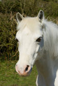 Pretty white pony — Stock Photo