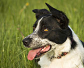 Border collie — Stock Photo