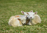 New born spring lambs — Stock Photo