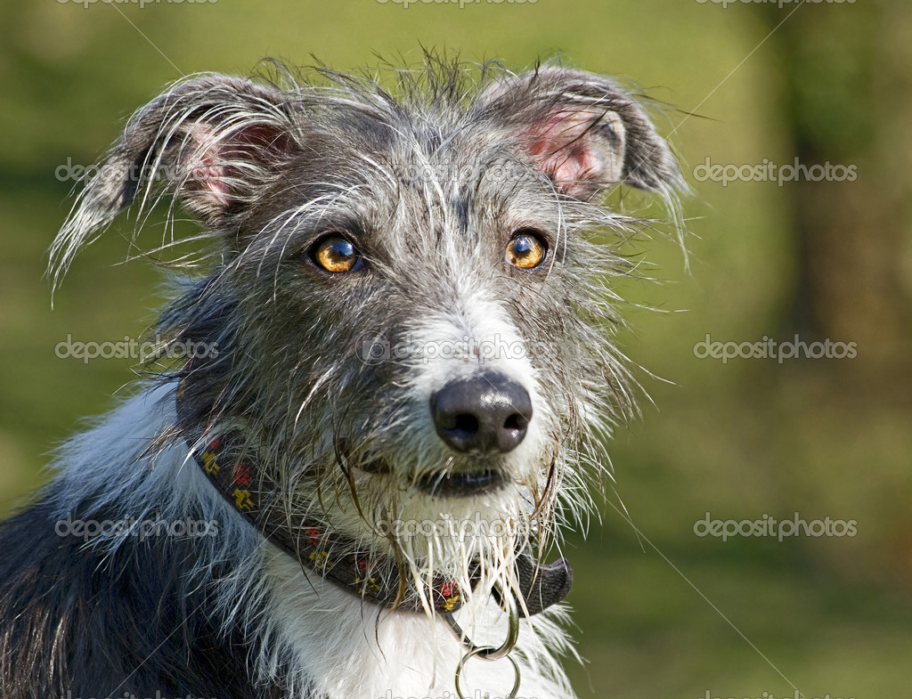 Scruffy dog - Stock Image