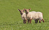 Twin spring lambs — Stock Photo
