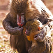 Stock Photo: Mother and baby mandrill