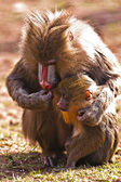 Mother and baby mandrill — Stock Photo