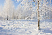 Birch Grove in winter — Stock Photo
