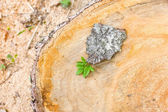 Stump of the felled trees with leaves — Stockfoto
