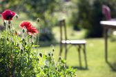 Poppies in the garden — Stock Photo