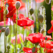 Ornamental Poppies — Stock Photo