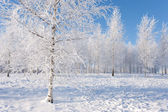 Birch trees on a sunny winter day — Stock Photo