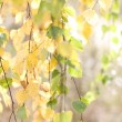 Birch branches on a sunny day - Stock Photo
