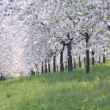 Blooming apple orchard in the spring in Prague - Stock Photo