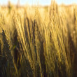 Wheat on the field at sunset — Stock Photo