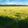 Royalty-Free Stock Photo: Green wheat field before harvest