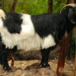Stock Photo: Black mountain goat