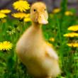Duckling sitting in the green grass — Stock Photo