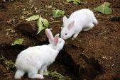 White fluffy rabbits — Stock Photo