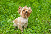 Cute Yorkshire terrier — Stockfoto