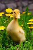 Kaczątko siedzi w zielonej trawie — Zdjęcie stockowe