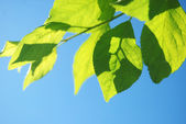 Green leaves — Stockfoto