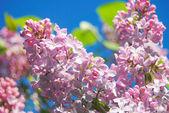 Fresco lilla — Foto Stock