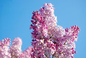 Pink lilac in spring — Stock Photo