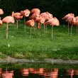 Flamingo — Stock Photo #5564103