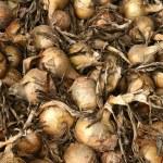 Onions — Stock Photo #5564267
