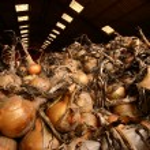 ������, ������: Onions