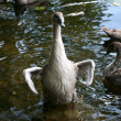 Swans — Stock Photo #5564491