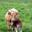 Danish cows - Stock Photo
