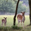 Deers in a forest in denmark - Stock Photo