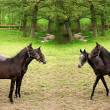 Danish horses - Stock Photo