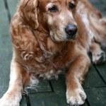 Dog golden retriever — Stock Photo