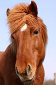 Danish horses — Stock Photo