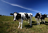 Danish cows — Stock Photo