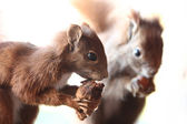 Squirrels — Stock Photo