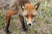 Yaz aylarında bir doğa parkı-danimarka vahşi hayvanlar, — Stok fotoğraf