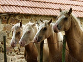 Four horses — Stock Photo