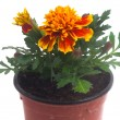 French marigolds — Stock Photo