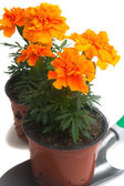 French marigolds — Stock Photo