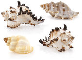 Sea cockleshells — Stock Photo
