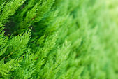 Thuja background — Stock Photo
