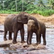 Flock of elephants in the river — Stock Photo