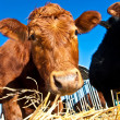 Friendly cattle on straw with blue sky — Stock Photo #5519841