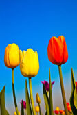 Field with blooming colorful tulips — Stockfoto