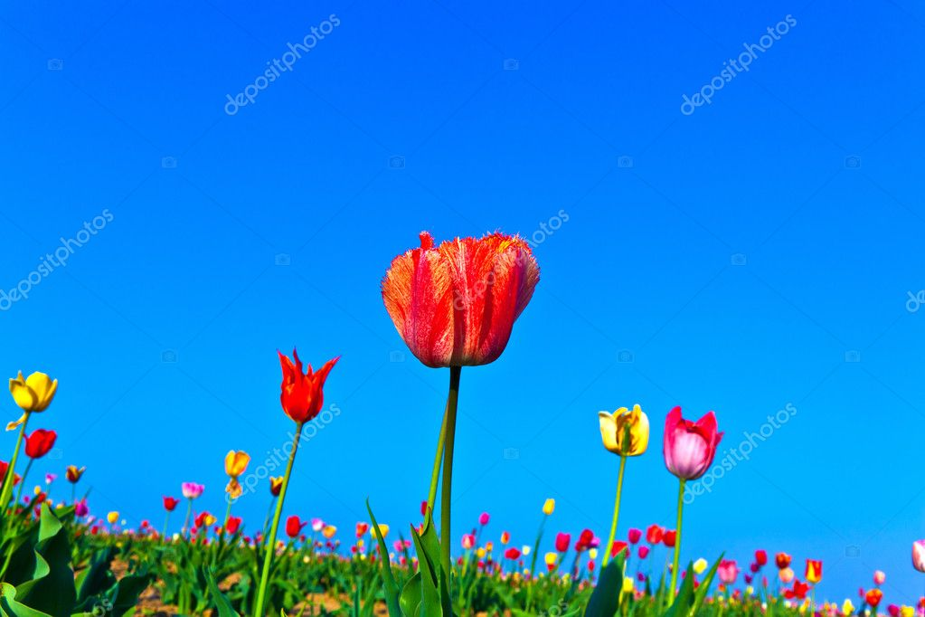 Spring field with blooming colorful tulips  Stock Photo #5519936