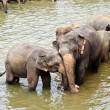 Elefants in the river are relaxing and hugging with their russels — Foto de Stock